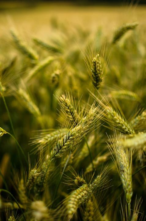 biostymulator wzrostu roślin